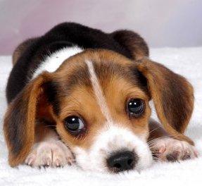 beaglepuppy