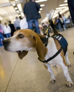 Colon Cancer And 6 Other Surprising Things Dogs Can Sniff Out The Dogsmith